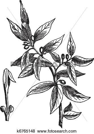 Clip Art of Bay leaves (Laurus nobilis) or sweet bay, vintage.