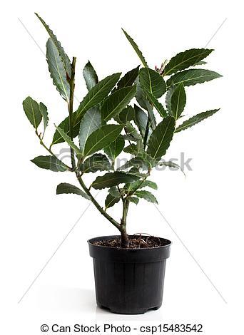 Stock Photo of Bay Laurel Laurus nobilis in pot on white.
