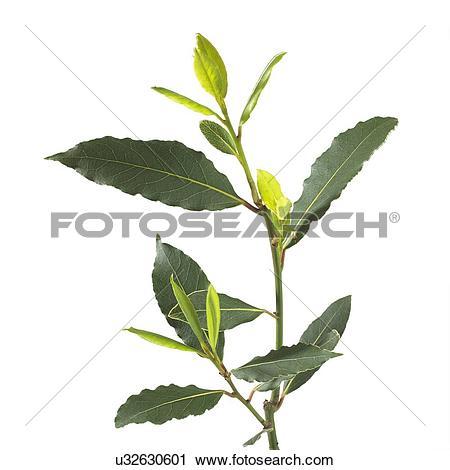 Stock Photography of Bay tree Laurus nobilis stem u32630601.