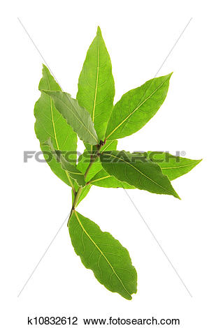 Stock Photo of Bay Laurel (Laurus nobilis) k10832612.