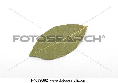 Stock Photo of laurus nobilis k4079382.