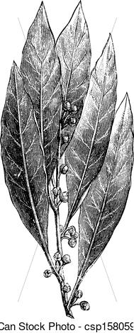 Vector of Bay Laurel or Laurus nobilis, vintage engraving.