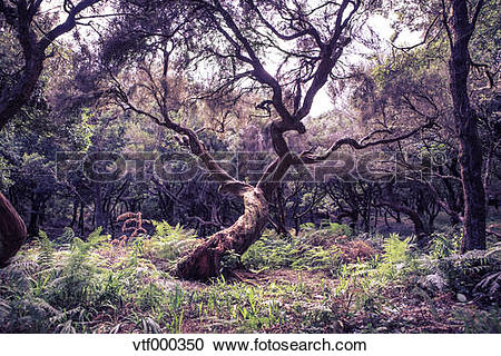 Stock Photography of Portugal, Madeira, laurel tree, Laurus.