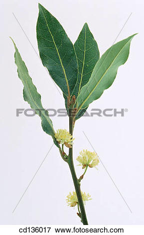 Picture of Sweet Bay (Laurus nobilis) cd136017.