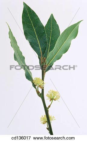 Picture of Sweet Bay (Laurus nobilis) cd136017.