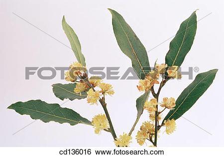 Stock Images of Sweet Bay (Laurus nobilis) cd136016.