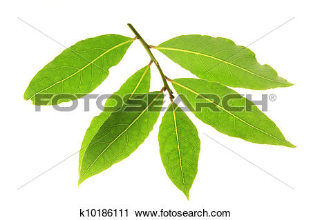 Stock Photography of bay leaves (Laurus nobilis) k10186111.