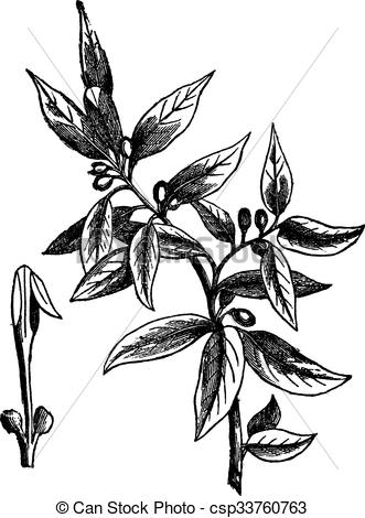 Clip Art Vector of Bay leaves (Laurus nobilis) or sweet bay.