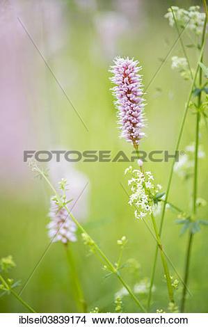 "Stock Photo of ""Bottlebrush (Callistemon), Lautertal, Ehingen."
