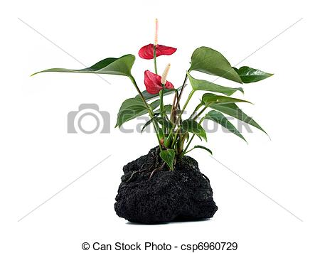 Stock Photographs of Lava Rock Plant.