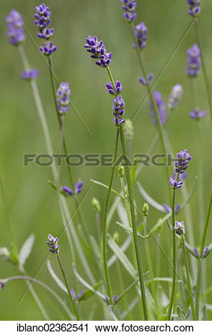 "Stock Photography of ""Lavender (Lavandula angustifolia), Schwaz."