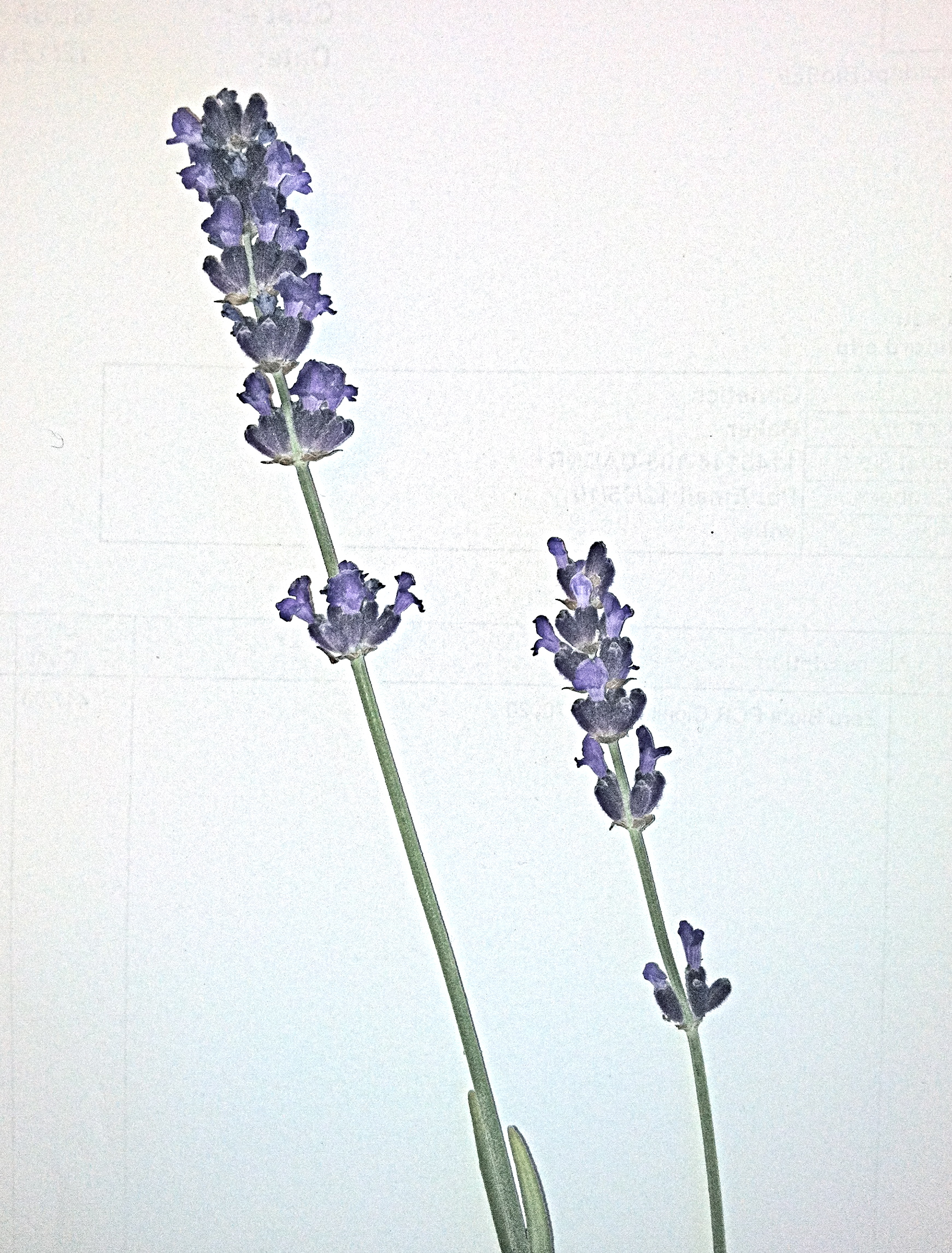 1000+ images about lavandula angustifolia on Pinterest.