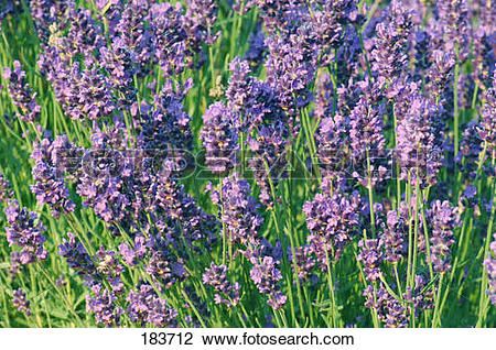 Stock Photo of English Lavender (Lavandula angustifolia, Lavandula.