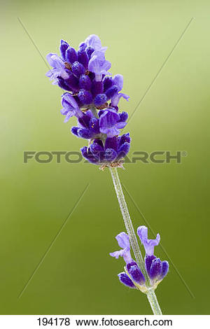 Pictures of English Lavender (Lavandula angustifolia), flowering.