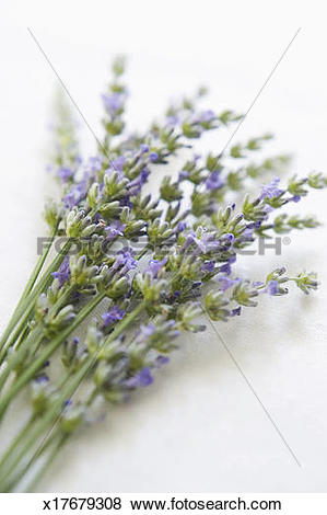 Pictures of Small bunch of lavender (Lavandula angustifolia.