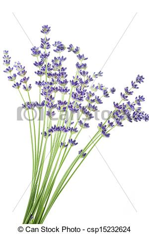 Stock Photo of Lavender flowers (Lavandula angustifolia.
