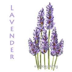 Lavender herb clipart.