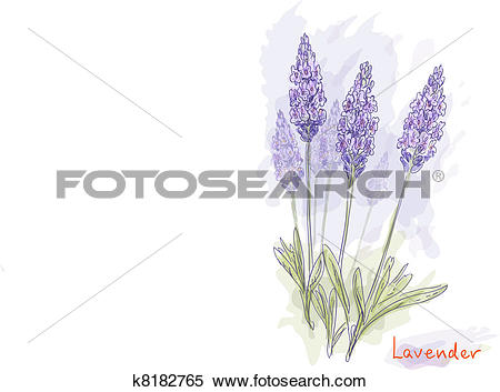 Clipart of Lavender flowers (Lavandula). k8182765.
