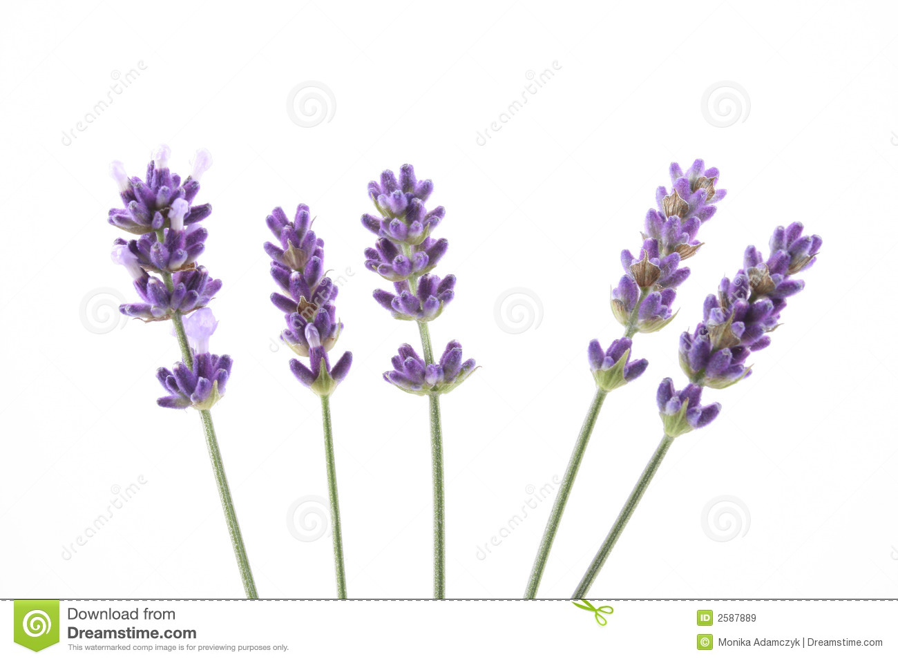 Lavender Royalty Free Stock Images.