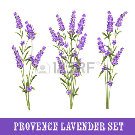 306 Lavandula Stock Vector Illustration And Royalty Free Lavandula.