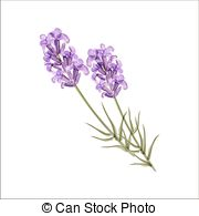Lavandula Illustrations and Stock Art. 227 Lavandula illustration.
