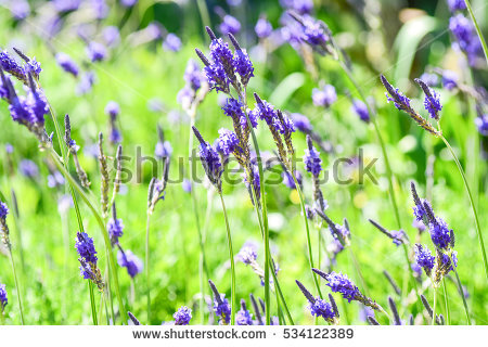 Lavandula Stock Images, Royalty.