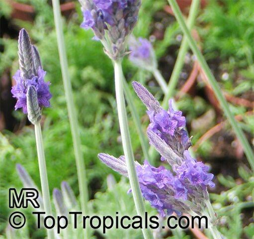 Lavandula multifida, French Lace Lavender.