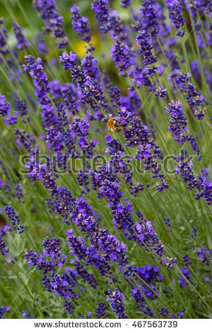 Lavandula Officinalis Stock Photos, Royalty.