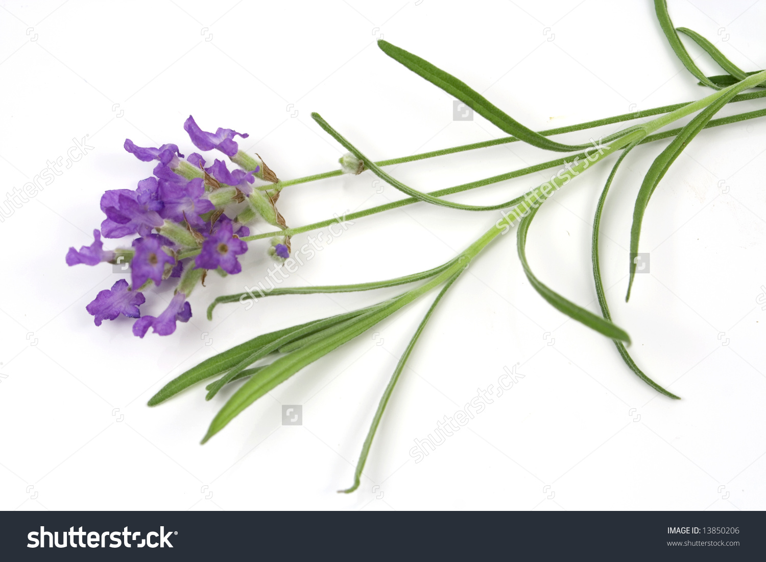 Lavender (Lat. Lavandula Officinalis) Isolated On White Stock.