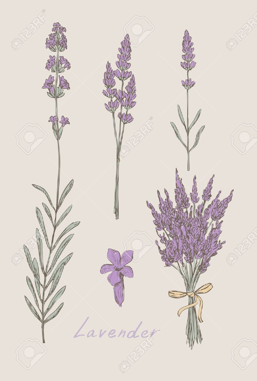 Lavender Hand Drawn Set Royalty Free Cliparts, Vectors, And Stock.