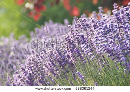 Lavandula Stock Photos, Royalty.