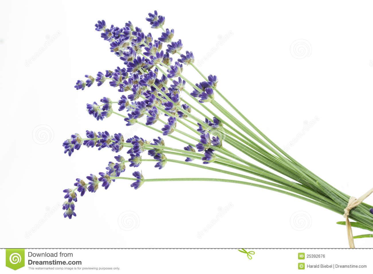 Lavender On White Royalty Free Stock Image.