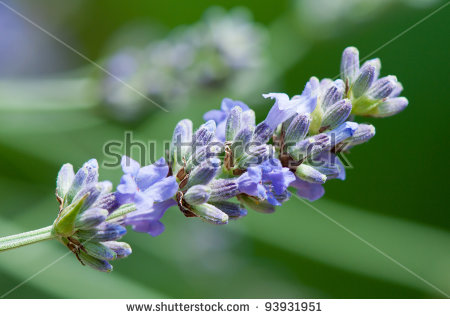 Lavandula Angustifolia Stock Photos, Royalty.