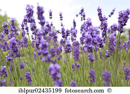 Lavandula vera Stock Photo Images. 51 lavandula vera royalty free.