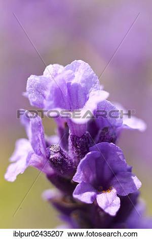 "Picture of ""Lavender (Lavandula angustifolia, syn Lavandula."