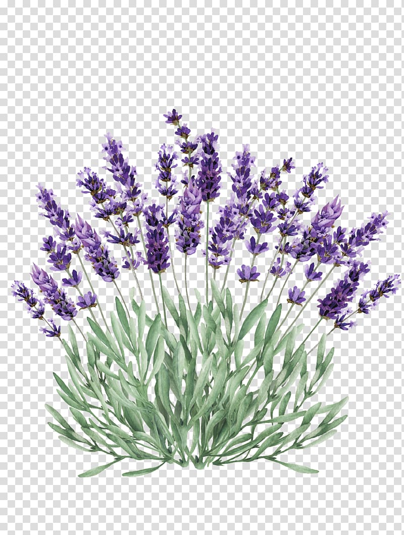 Lavender Portable Network Graphics Illustration graphics.
