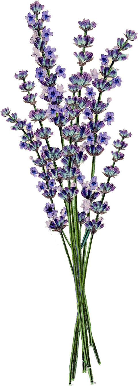 Free clipart lavender flowers.