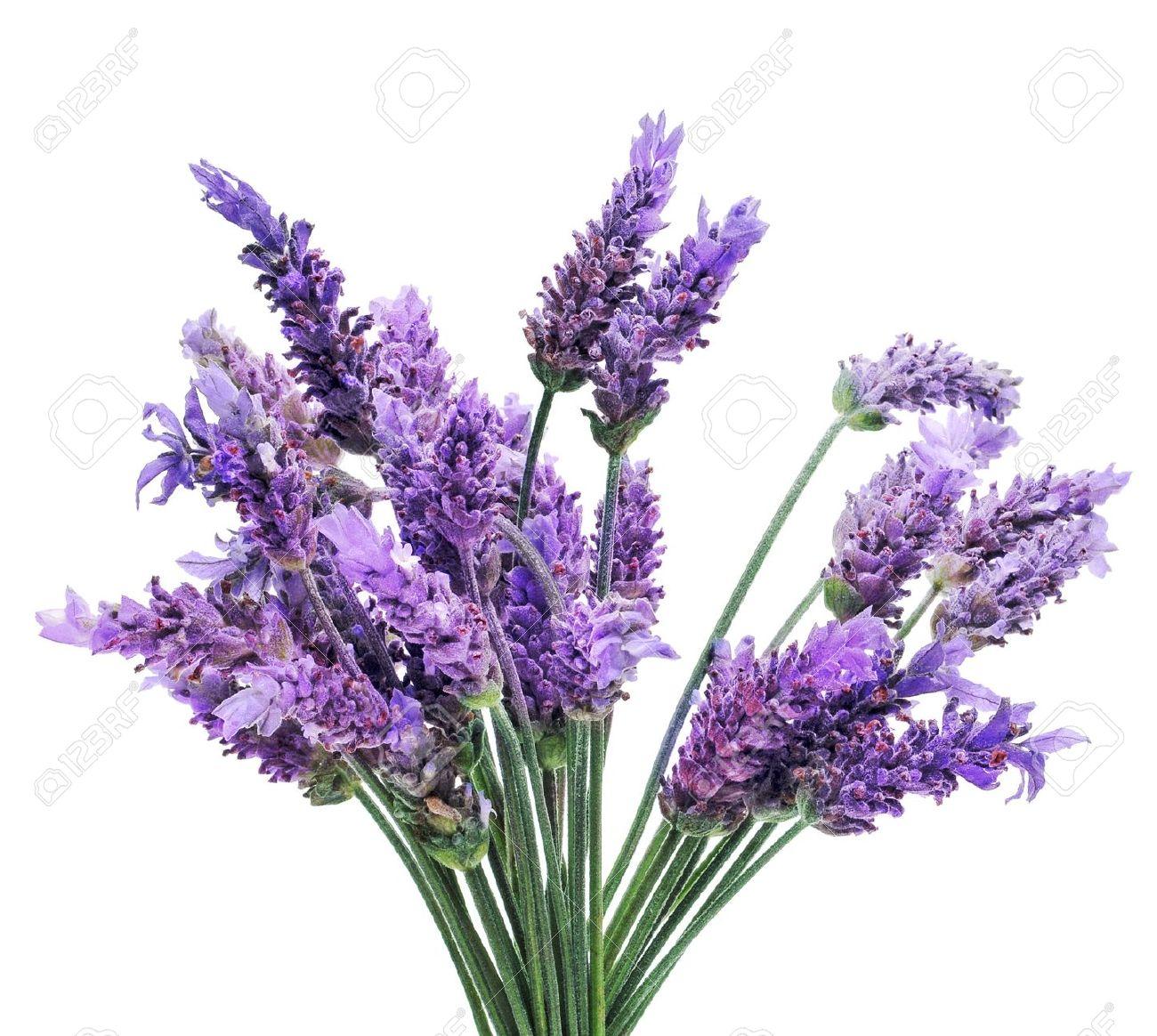 LavenderBunchClipartClipground