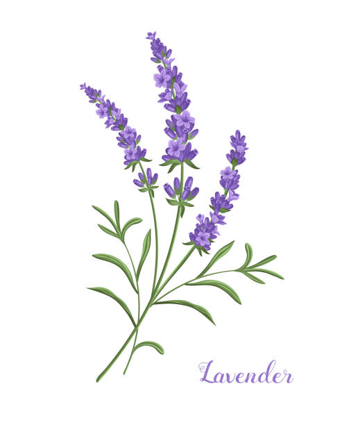 Royalty Free French Lavender Clip Art Vector Images.