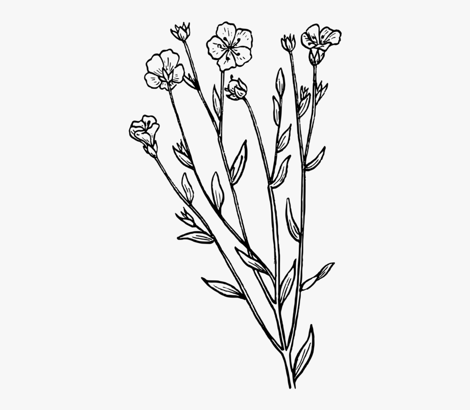 English Lavender Drawing Botany Plant French Lavender.