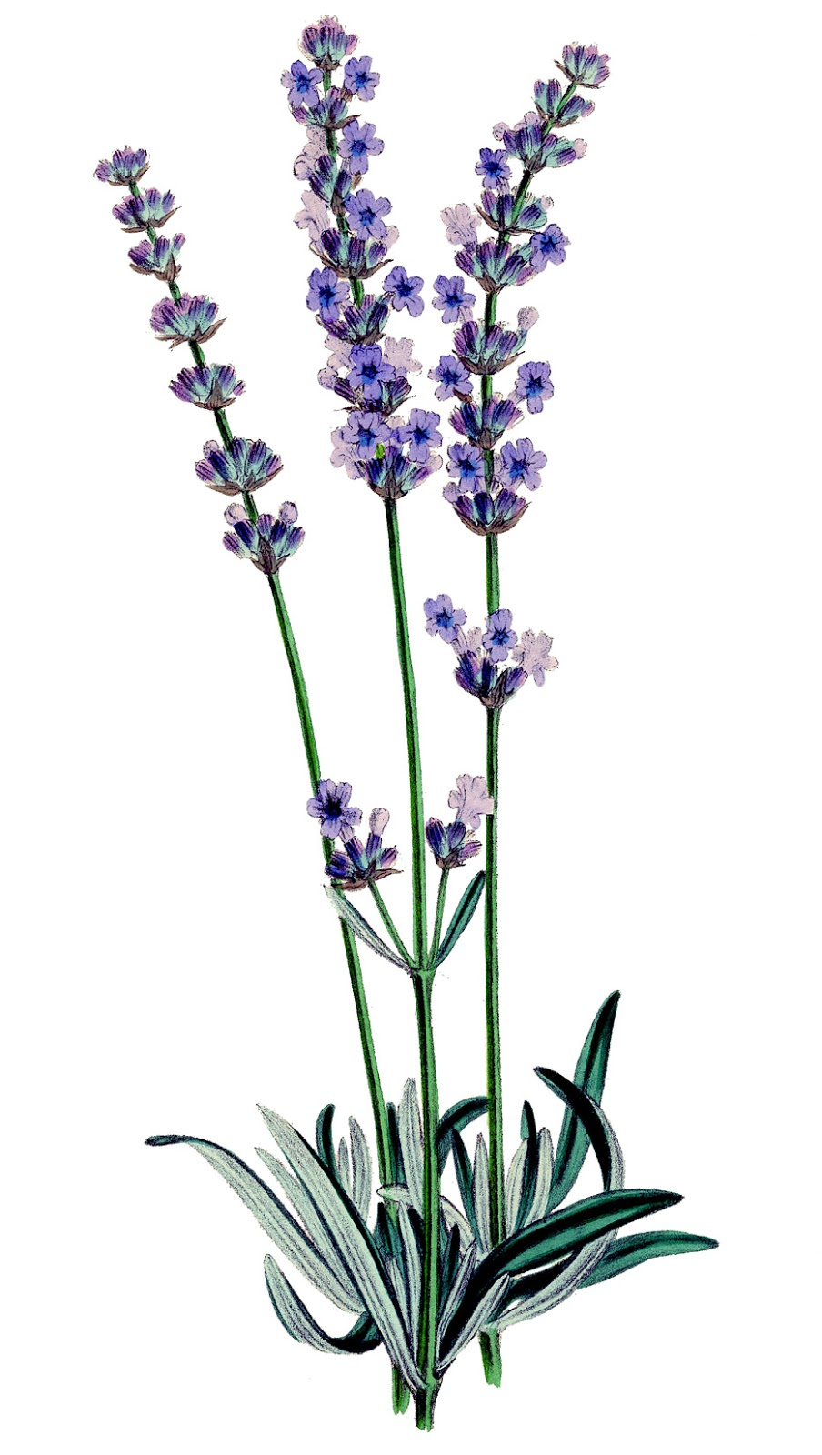 Lavender plant clipart.