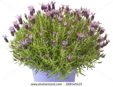 Lavender Plant Stock Images, Royalty.