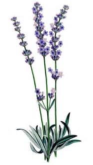 Similiar Lavender Plant Clip Art Keywords.