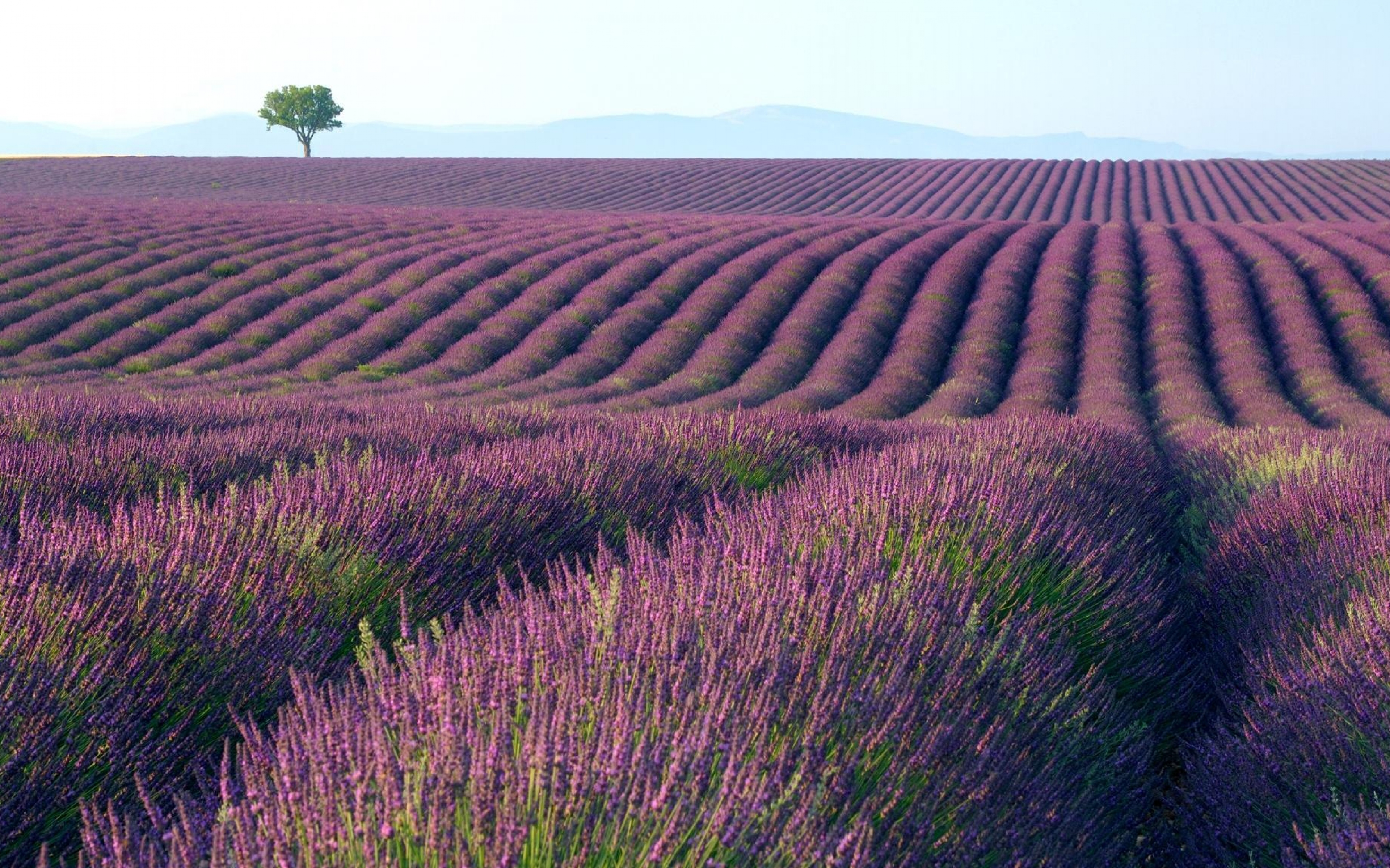Top HDQ Free Lavender Images, Wallpapers.