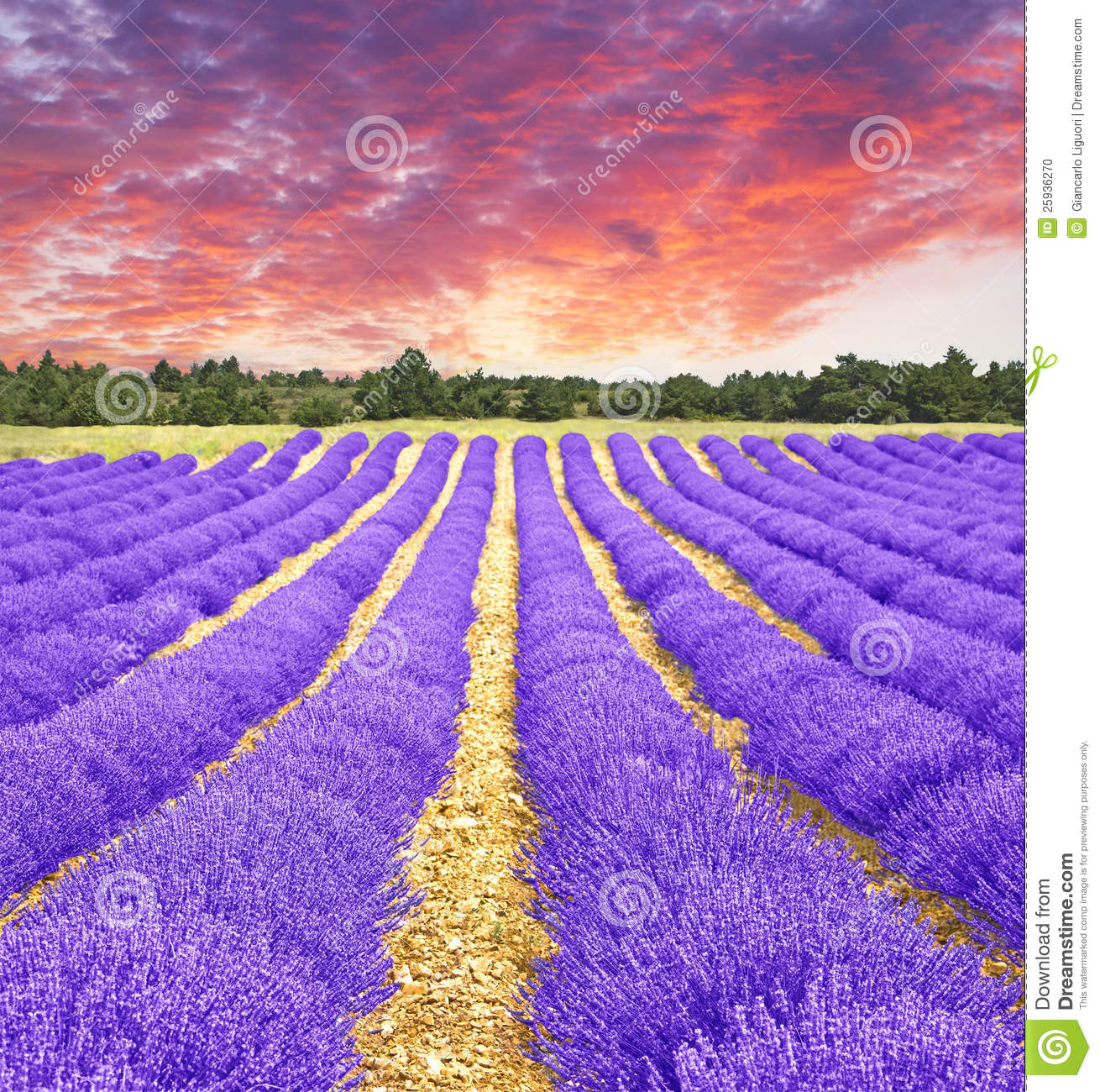 Lavender Field Sunrise Stock Photos, Images, & Pictures.