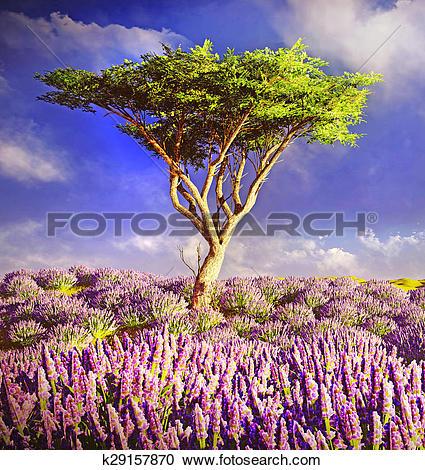 Stock Illustrations of Lavender fields k29157870.