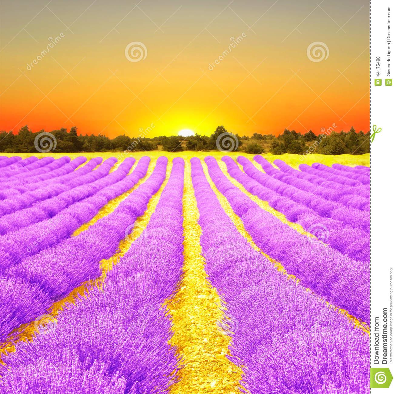 Lavender Field Sunrise Stock Photos, Images, & Pictures.
