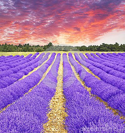 Lavender Sunset Stock Image.
