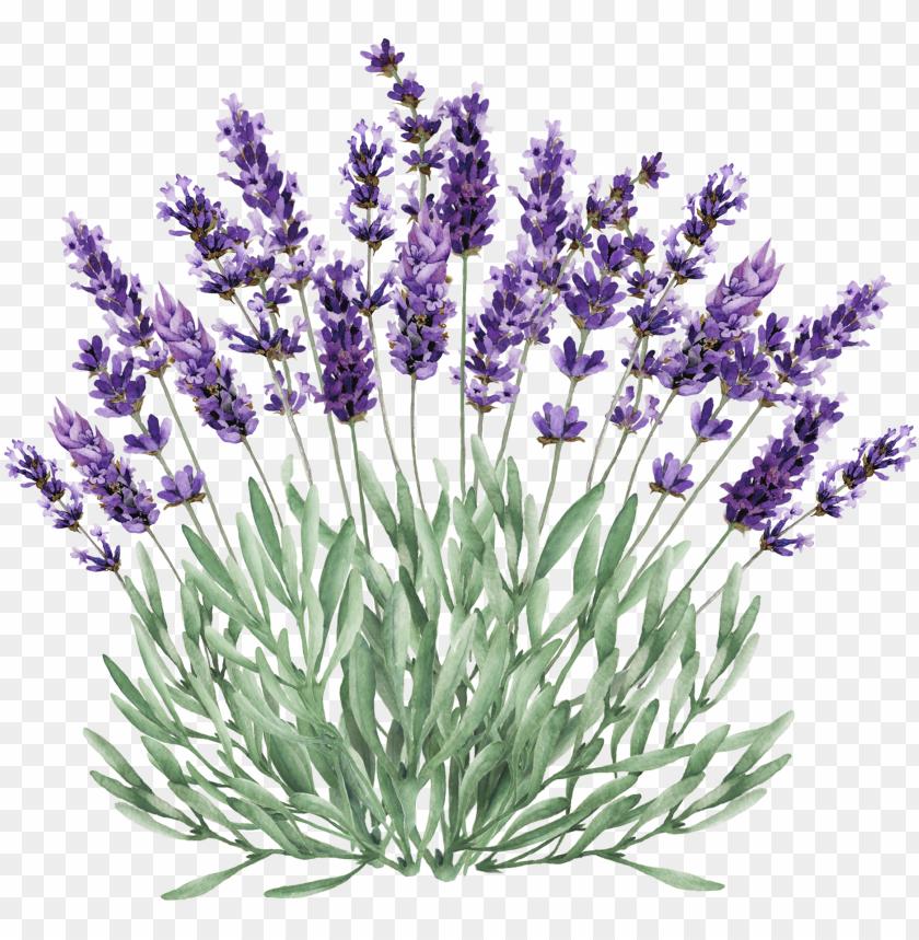 lavender bush png clip stock.