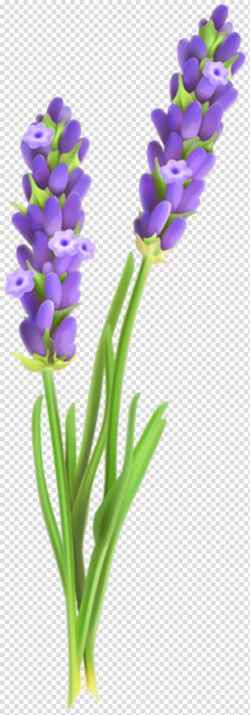 English lavender Lavender oil Plant Lavandula latifolia.